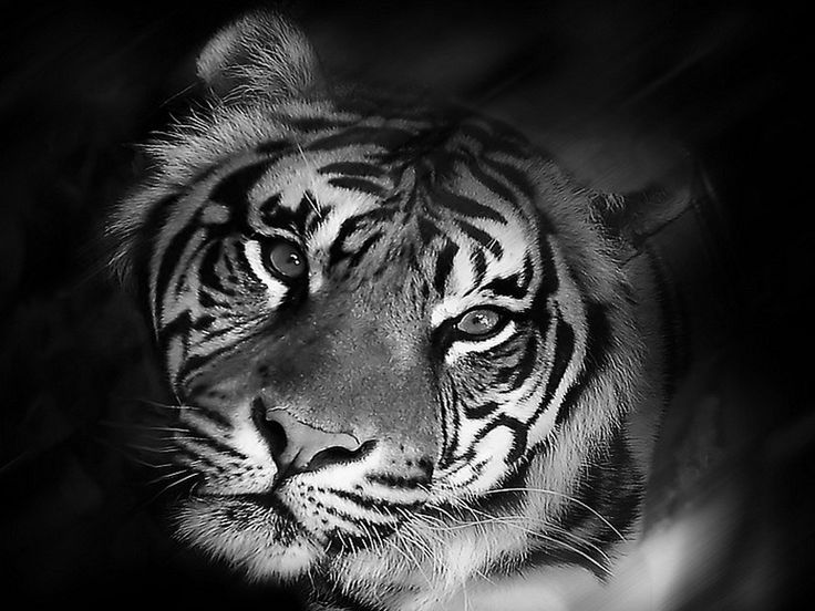 Image detail for free tiger black and white wallpaper - White tiger wallpaper free download ...