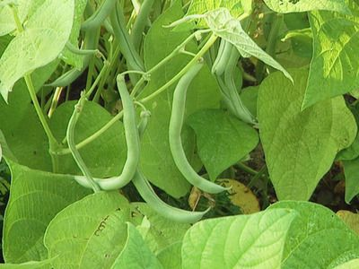 Plant Bush Bean Varieties Now for a Fall Harvest. Learn How >> http://www.diynetwork.com/how-to/how-to-grow-pole-and-bush-beans/index.html?soc=pinterest