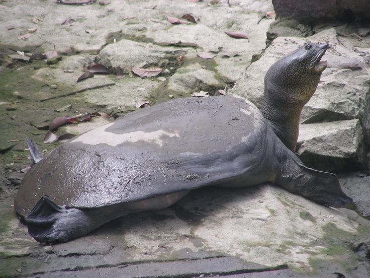 Cantor's giant softshell turtle (Pelochelys cantorii)