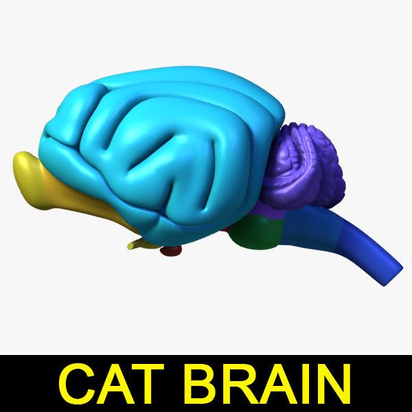 Max Cat Brain - 3D Model