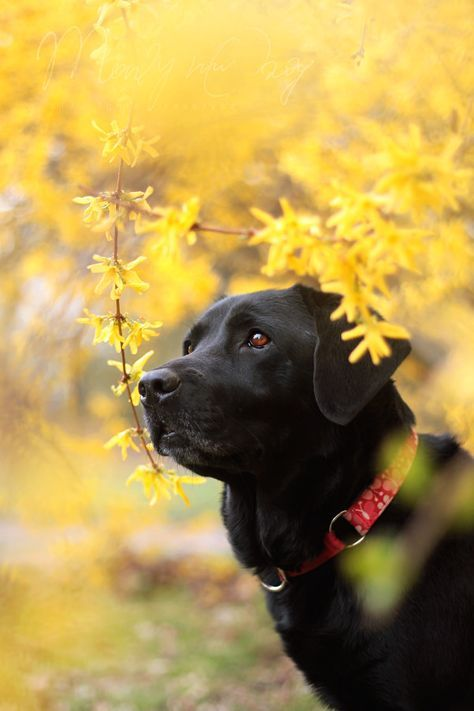 Summer blooms and fall blooms beautiful black lab!