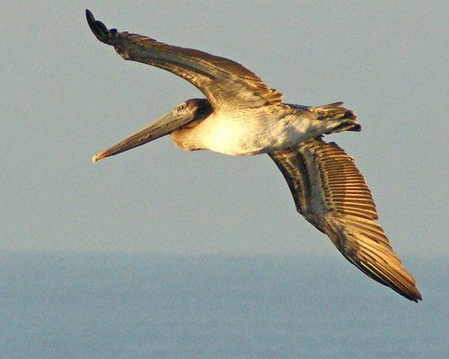 Flying / Volando.  Pelican in Puerto San Jose, Escuintla
