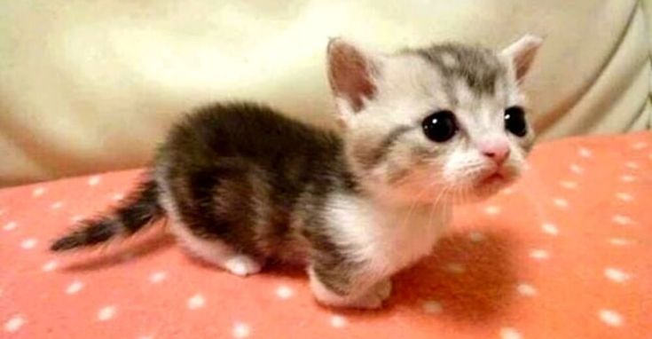 Φανταστείτε να μπορούσατε να πάρετε τις αξιολάτρευτες μικρές γάτες σας και να τις «παγώσετε» σαν μωρά για πάντα! Λοιπόν, μπορεί να μην έχετε μαγικές δυνάμεις, αλλά υπάρχει ένας τρόπος που θα μπορούσατε να έχετε ένα δια βίου μικρό γατάκι. Υιοθετήστε μία Munchkin γάτα! Οι Munchkins «κυκλοφορούν» σε… Φανταστείτε να μπορούσατε να πάρετε τις αξιολάτρευτες μικρές …