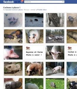 GroinGroin est, à ce jour, l'unique association française dédiée à l'information, la protection des cochons de compagnie et le placement de cochons abandonnés. L'association GroinGroin a été fondée en 2005 par la vétérinaire Dr Servane Hochet, vétérinaire-conseil de l'association, spécialisée cochon nain et Caroline Dubois, passionnée de cochons nains depuis une dizaine d'années (...)  De nombreux cochons sont abandonnés (adultes et bébés) partout en France.