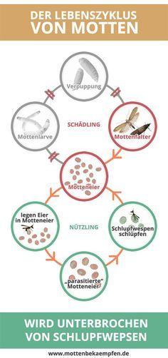 Marvelous Der Lebenzyklus von Motten wird durch Schlupfwespen unterbrochen Motten bek mpfen mit Schlupfwespen ist sehr effizient