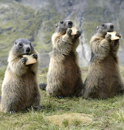 """~~group of marmots eating biscuits~~ * * """" WEEZ SAID GRACE BEFORE DIS BISCUIT BARRAGE. CRUNCH MUNCHIN' GOOD ! """""""