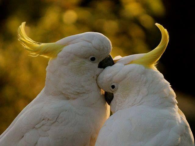 LOVERS Sulphur Crested Cockatoos Moruya NSW Australia By Peter Styring