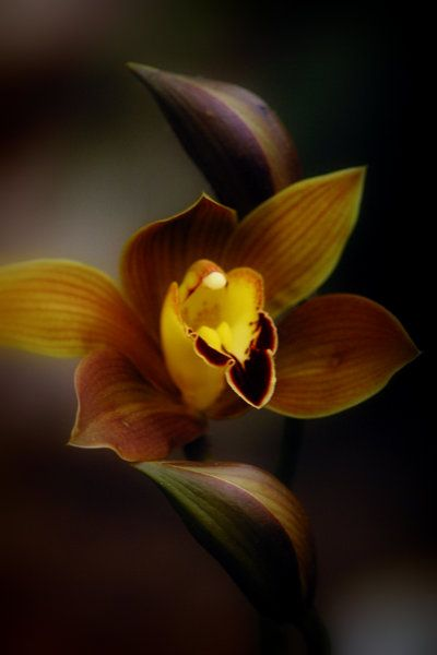 Fleurs Foncées Dark Art Photography Flowers Botanical Prints Yellow Orchid