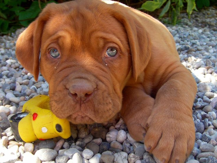 dog de bordeaux pup (french mastiff)...u better have alot of space. i use to have this kind of dog.  what a great bundle of joy this breed can bring u!