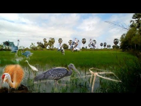 Top 10 Bird Trapping in Cambodia| Best Bird Trap| How to Make Bird Trap ...