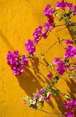 Tumeric wall and purple Bougainvellea...beautiful