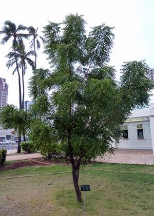 Azadirachta indica (Neem), an herbextensively used in Ayurveda, Unani and Homoeopathic systems of medicine [7]to treat many health related problems and ailments, and also known toexert anticancer, antioxidant, wound-healing, and antimicrobial properties [5,6,7]is also known to be one of these plants from which almost every part is used, from the Neem oil extracted from its seeds to the leaves and branches.