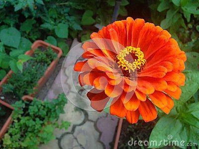 Orange zinnia in garden. (Zinnia elegans).