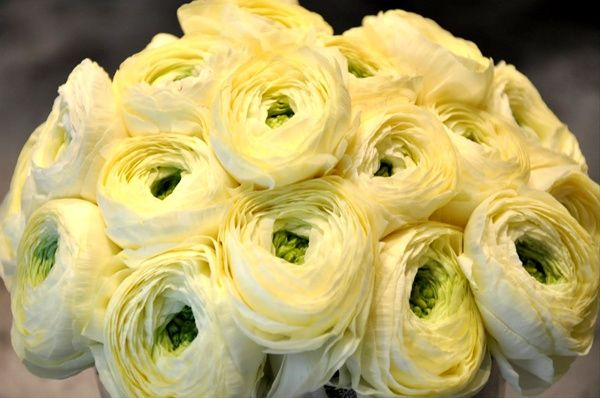 Cream Shades - Ranunculus - Flowers and Fillers - Flowers by category | Sierra Flower Finder