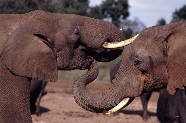 African elephants get slaughtered for their tusks