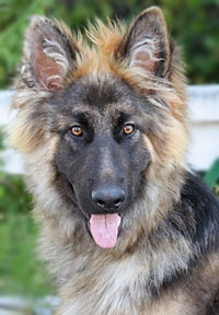 one of the rescues from Westside German Shepherd Rescue