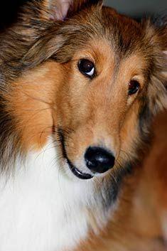 Shetland Sheepdog information: Shetland Sheepdog breed guide shetland sheepdogs puppies dogs