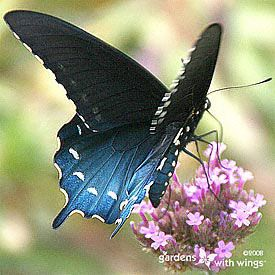 Pipevine Swallowtail Butterfly Picture- think it was one of these I saw as well 8-14-12