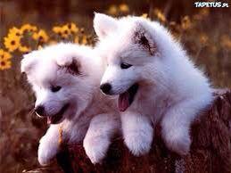 Młode wilki