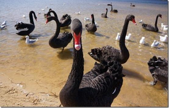 Black Swans | Lakes Entrance, Victoria | CaravanCampingOz.com