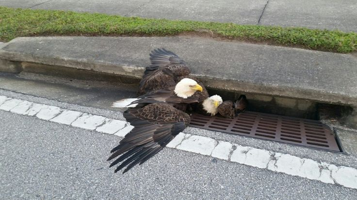 Battling bald eagles plunge into Florida storm drain, along with flight of anti-Trump metaphors - The Washington Post