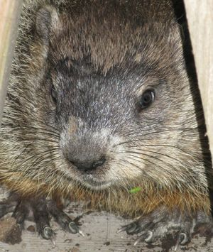 Funny Container Gardening Blogs about Groundhogs: Groundhog Picture