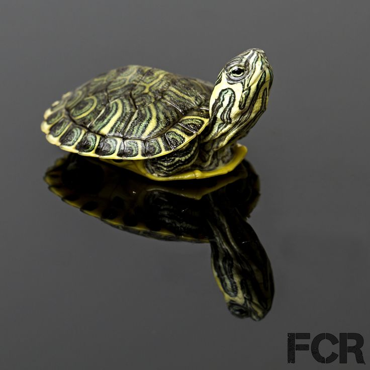First Choice Reptiles - CB Baby Yellow Bellied Turtle For Sale, $12.00 (http://www.firstchoicereptiles.com/cb-baby-yellow-bellied-turtle-for-sale/)