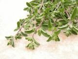 Marjoram (Origanum majorana) is an aromatic herb in the mint family which originated in Egypt and Arabia.