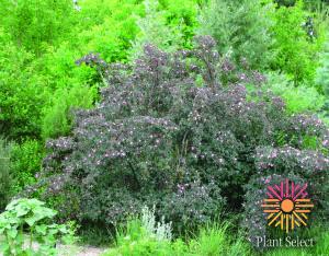 Rosa glauca (R. rubrifolia) 5 Panayoti Kelaidis