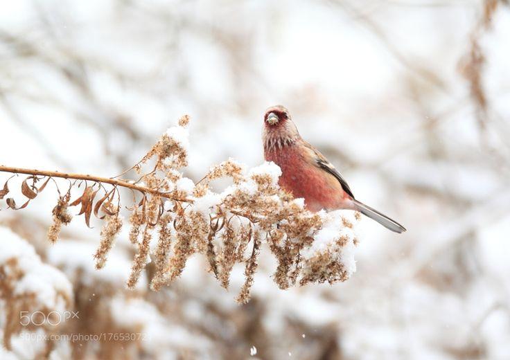 ベニマシコ雪のー by granheime1188g