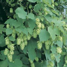 """Want to create an organic privacy screen?  Try Hops. """"No other vine is faster growing or more effective as an ornamental screen. Plants can grow up to 20 feet in one year when grown in a sunny location and are easily trained on a fence of trellis. Each year they die back to the crown in winter. In late summer the vines bear cone-like flowers that have a fresh, pine-like fragrance."""""""