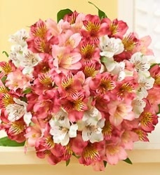 Flowers - Pink & White Peruvian Lily Bouquet, 50-100 Blooms
