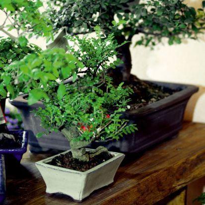 Ako úspešne pestovať bonsaje