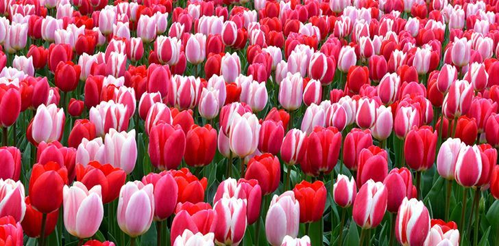 5 Trendy Facts About Tulips The Fact Site In 2020 Disney Fun Facts Disney Princess Facts Fun Facts