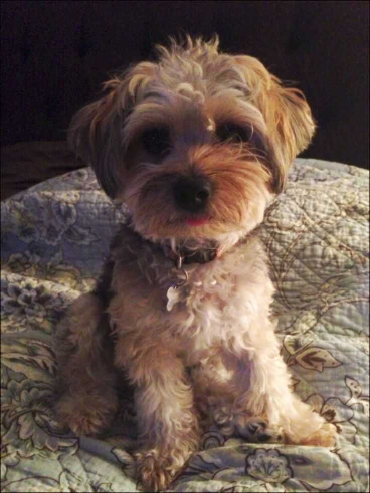 how to groom a yorkie poo at home
