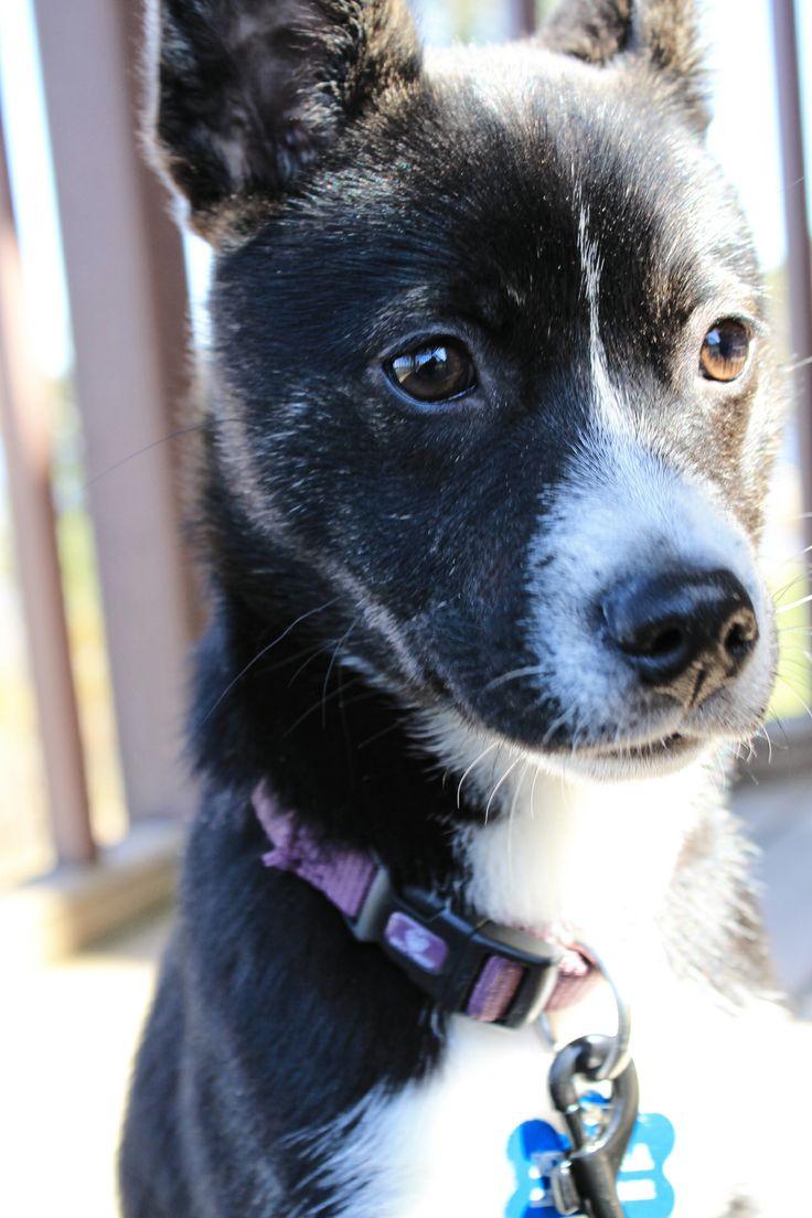 8 best Bosky/ Siberian Boston images on Pinterest | Siberian huskies ... | Siberian Husky Puppies Boston Ma