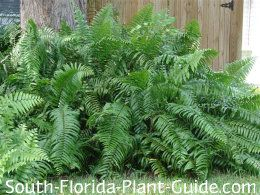 Macho fern (Nephrolepis biserrata)  A big bold fern that makes an impressive statement. Sometimes referred to as Giant Sword Fern. Fast grow...