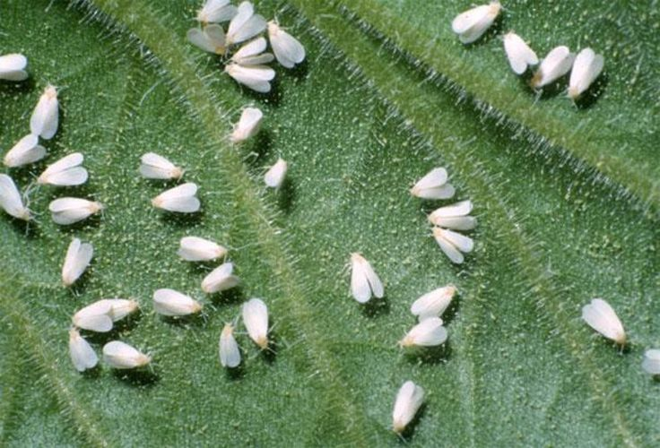 If you plants have what appears to be a flurry of dandruff, whiteflies are probably the problem.