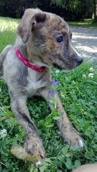 Belle is an adoptable Terrier Dog in Ansonia, CT. Meet Belle! This sweet little brindle baby is 8 weeks old and only about 5lbs. She looks to be a terrier mix. She is super loving and is already fitti...