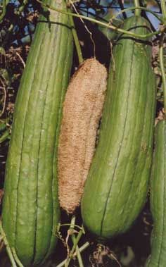 Organic Vegetable Seeds Online - Leek to Luffa