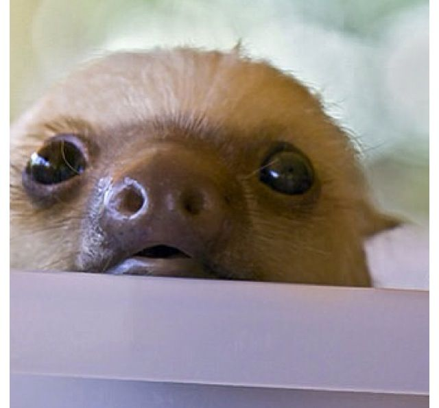 Baby sloth. Love these animals!.they def know how to chill :) and being cute comes so easy