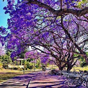 The University of Queensland is rolling out the purple carpet for Barack Obama's visit this Saturday! #brisbaneanyday (Photo: @lady_brisbane)