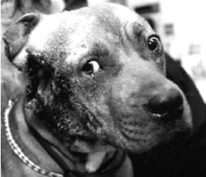 """Pitbulls Used to Be Considered the Perfect """"Nanny Dogs"""" for Children -- Until the Media Turned Them Into Monsters"""