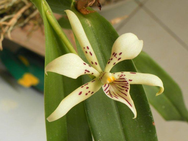 Anacheilium terassanianum do nosso associado Luis Goncalves