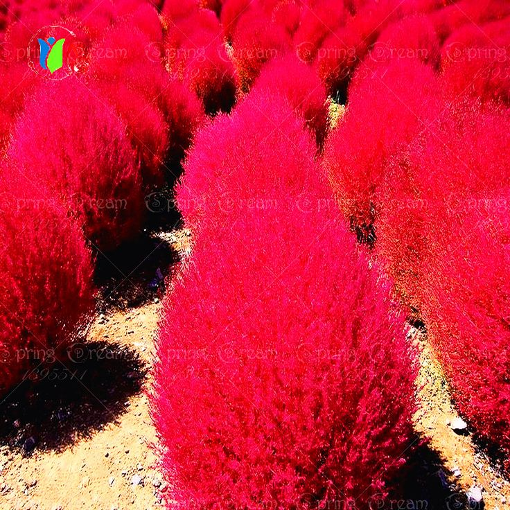 Grass seeds Perennial 300pcs Grass Burning Bush Kochia Scoparia Seeds Red Garden Ornamental easy grow >>> See this great product.