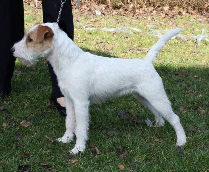 parson russell terrier info | ... parson russell terrier nr 3 i 2009 dtk arets parson russell terrier nr