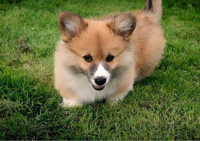 9 Best Medium Sized Dog Breeds Dog Breeds Medium Medium Sized Dogs Breeds Corgi
