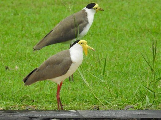 Masked Lapwing @ Seletar Country Club