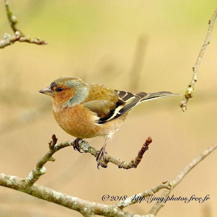 Pinson des arbres ( common chaffinch) #nature #bird #birds #oiseaux #oiseau #birdwatching #naturephotography #birdphotography #pinson #pinsonne #pinsondesarbres #commonchaffinch #k3ii