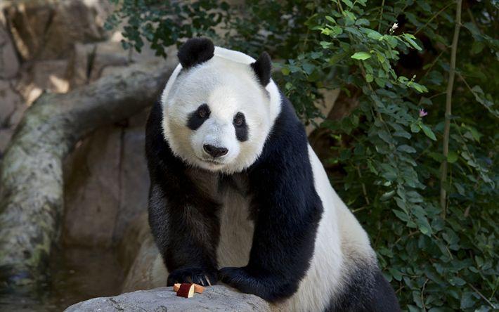 Télécharger fonds d'écran grand panda, ours, des animaux mignons, des pandas, des forêts